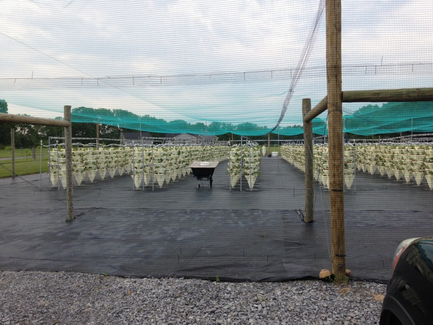 Hydroponic Strawberries in the Finger Lakes