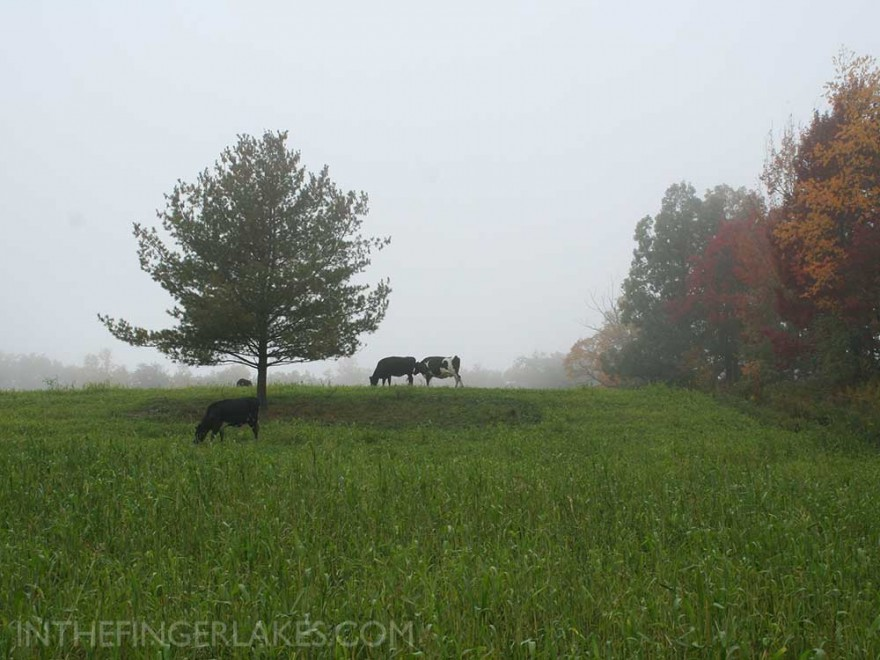 Cows on Keech Rd - Yates County [inthefingerlakes.com]
