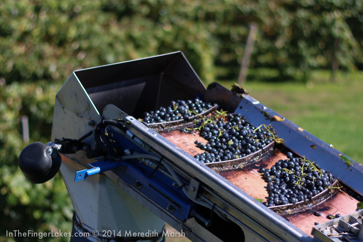 Grape Harvest 2014 - (FF 25% Just Changing) - InTheFingerLakes.com